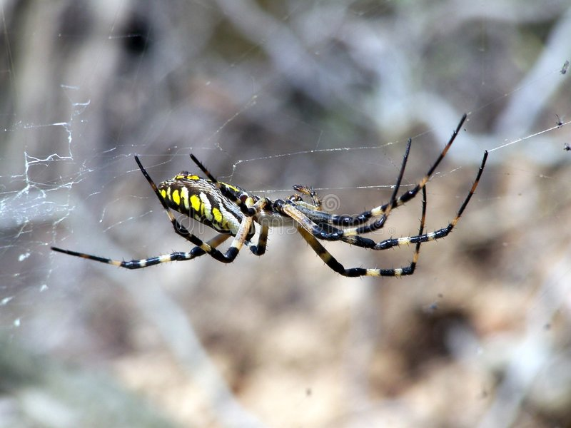 pająk ogrodu obrazy royalty free