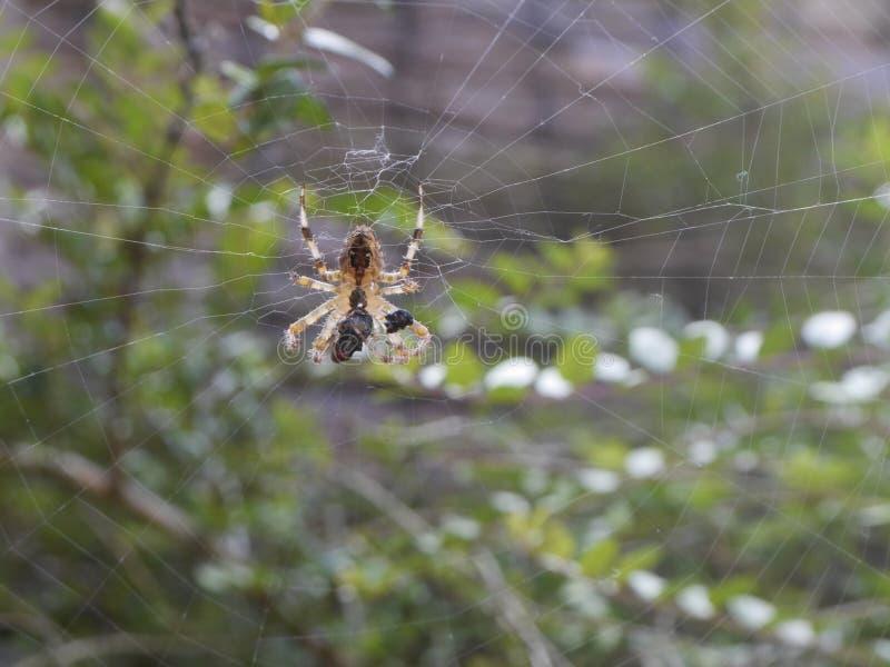 pająk ogrodu zdjęcie royalty free