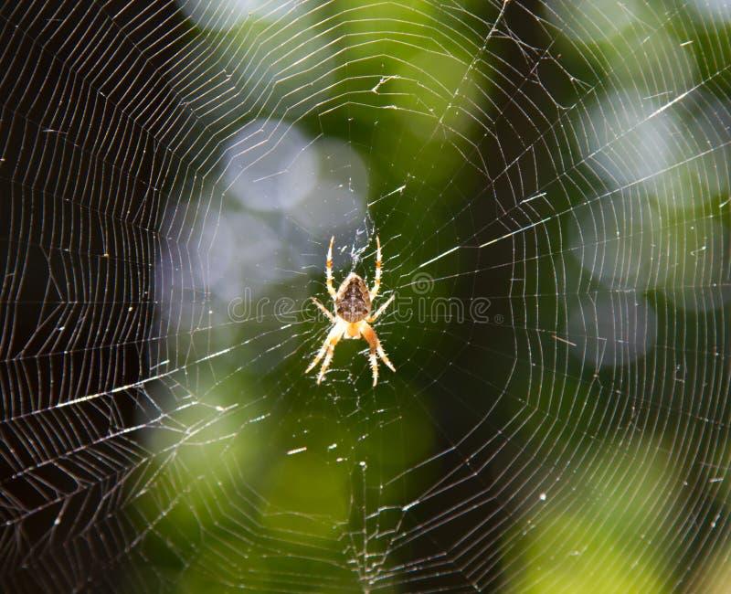 pająk półprzezroczysty zdjęcie royalty free