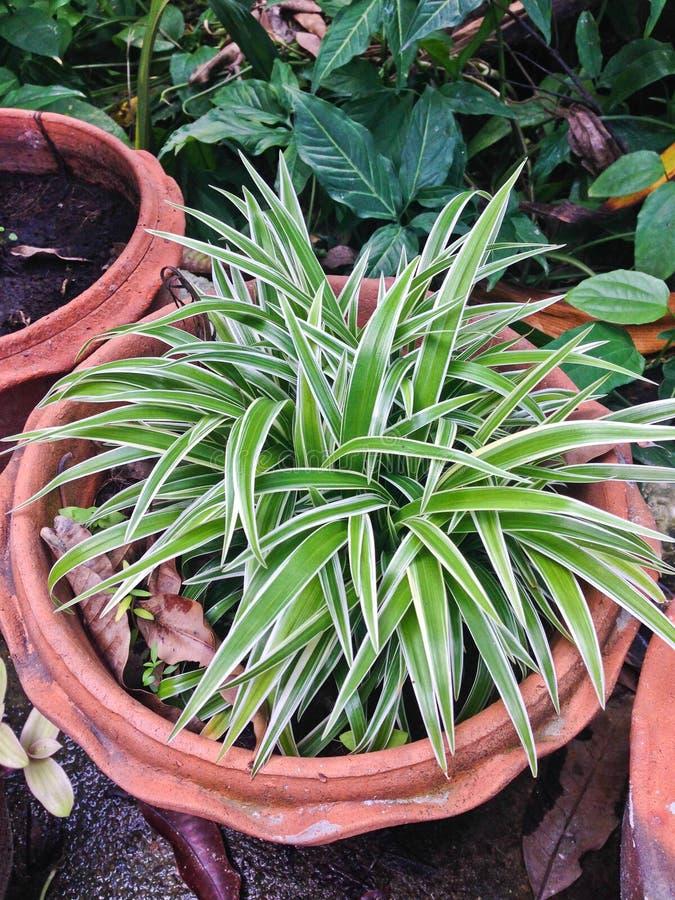 Pająk roślina z zieleni & białego nikłym liściem zdjęcie stock