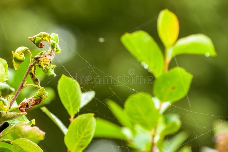 Pająk sieć między liśćmi po deszczu obrazy stock