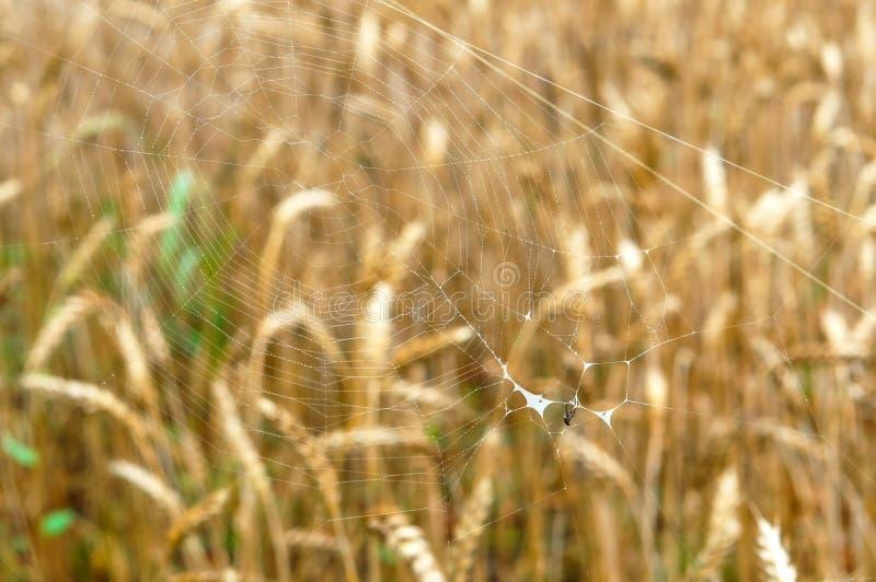 Pająk sieć na tle ucho, pająk sieć z małym pająkiem zdjęcie royalty free