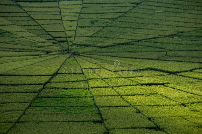 Pająk sieci ryż pole w Ruteng fotografia stock