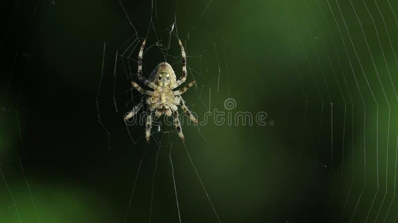 pająk swój sieć zdjęcia royalty free