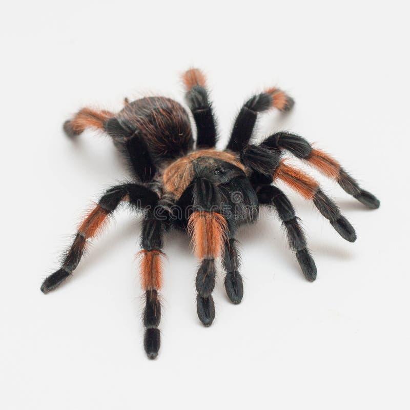 Pająk tarantula na białym backgroud, Brachypelma Emilia obrazy stock