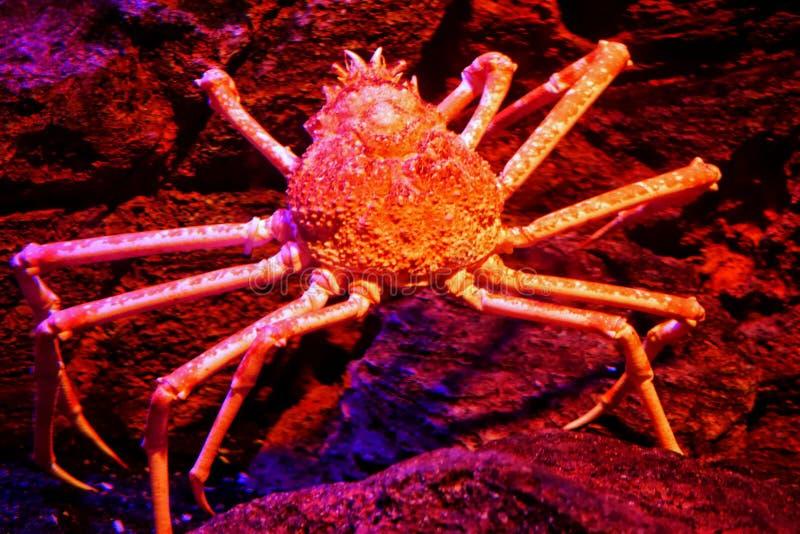 Pająka królewiątka krab lub Alaska królewiątka krab zdjęcie royalty free