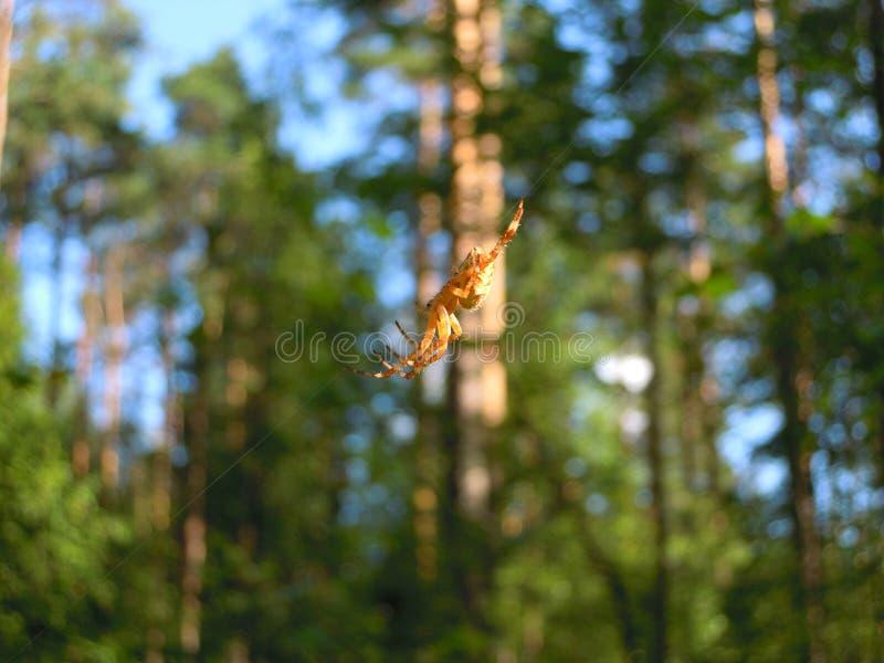 Pająka krzyż na sznurku pajęczyny w lesie obraz royalty free