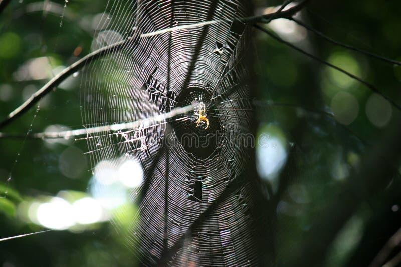 Pająka krzyżowiec na pajęczynie w lato lesie zdjęcia royalty free