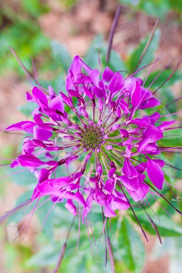 Pająka kwiat zdjęcie royalty free