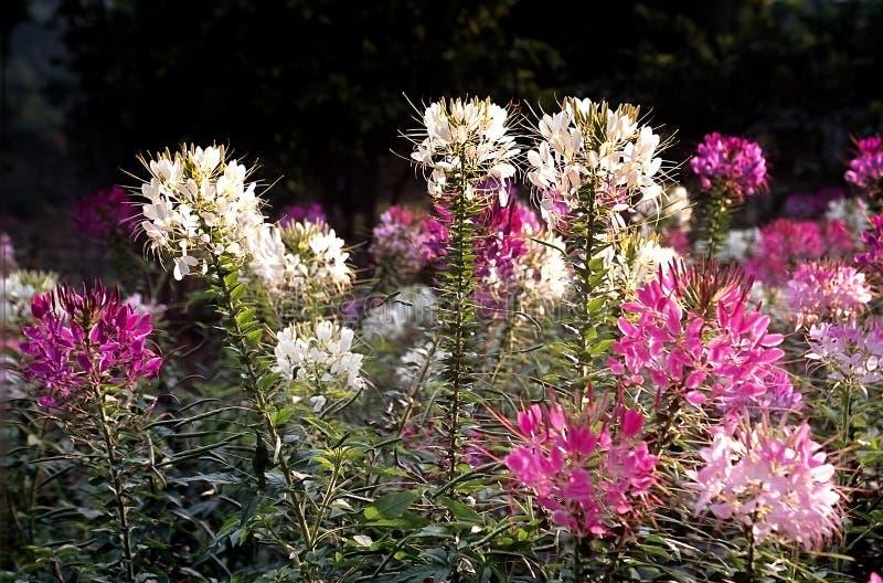 Pająka kwiat fotografia stock
