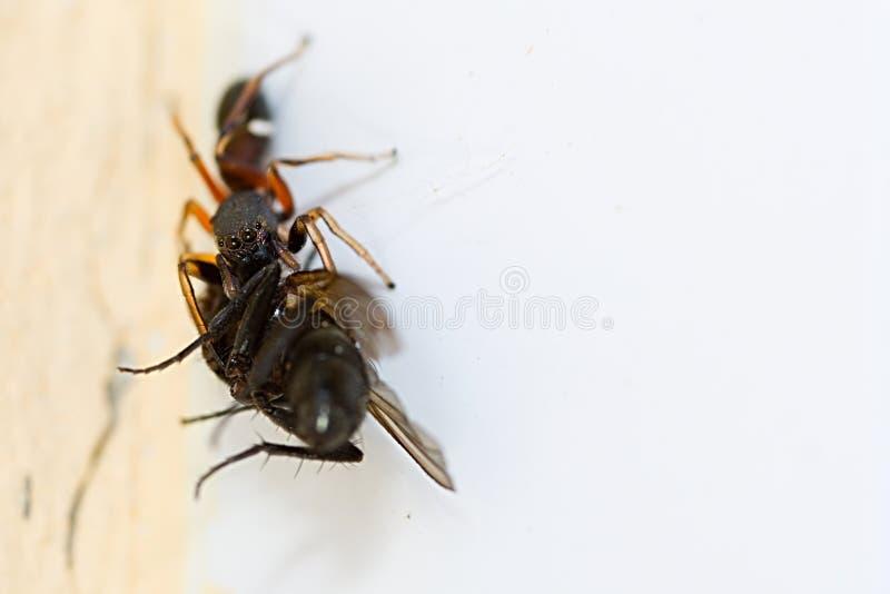 Pająka przewożenia komarnica obraz royalty free