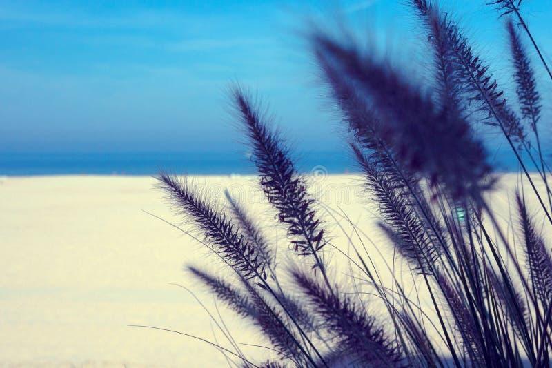 Pajęczaki z Pennisetum villosum z rodziny Cenchrus na tle niebieskiego nieba i morza Fokus miękki Sereneusz Zrelaksuj według obraz royalty free