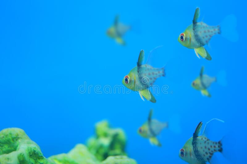 Pajama Cardinalfish Floating on the coral reef stock photo