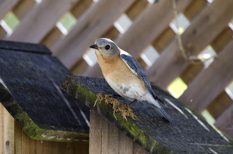 Pajareras del este del cenador del jardín del nidal del pájaro del azulejo imagen de archivo libre de regalías