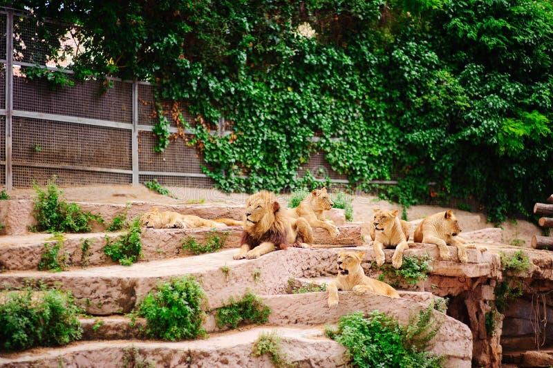 Pak leeuwen in dierentuin royalty-vrije stock afbeeldingen