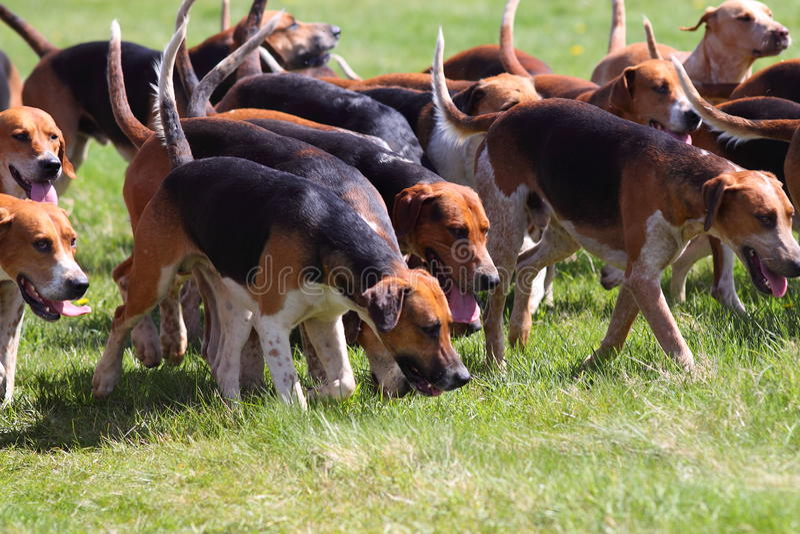Pak van de jacht van honden A stock afbeelding