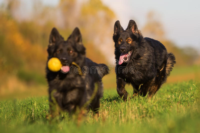 Pak van Oude Duitse herder Dogs stock fotografie