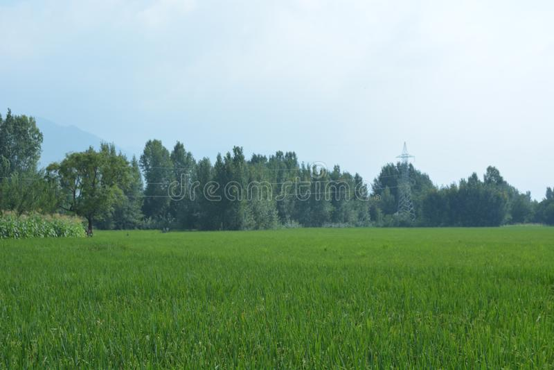 Pakistan rice fields. stock photography