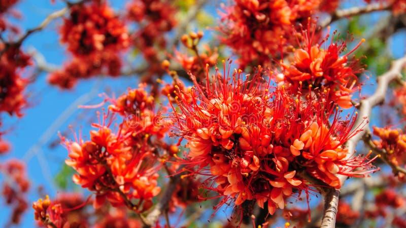 Pakistansk blommablomning för brand royaltyfria bilder