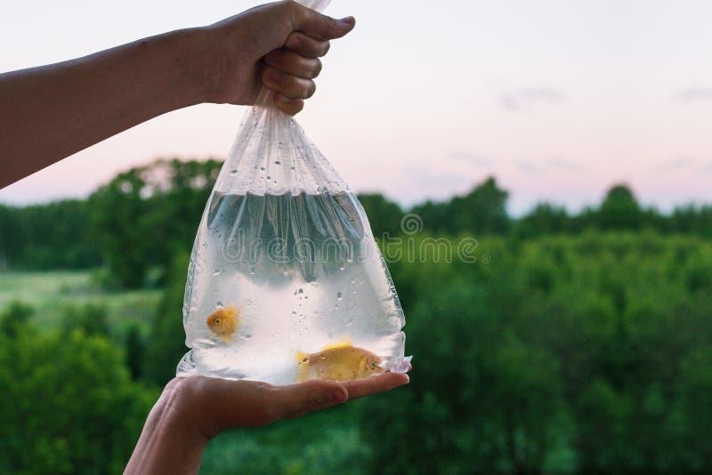 Pakunek z akwarium rybą w ręce Wręcza trzymać torbę w którym dwa goldfish pływanie Kupienia i sprzedawania ryba pets W zdjęcia stock
