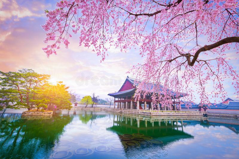 Palácio de Gyeongbokgung com a árvore da flor de cerejeira no tempo de mola dentro imagem de stock