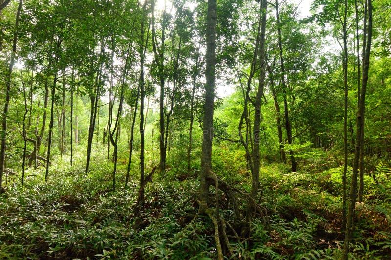 Palétuvier Forest Reserve de Matang images libres de droits