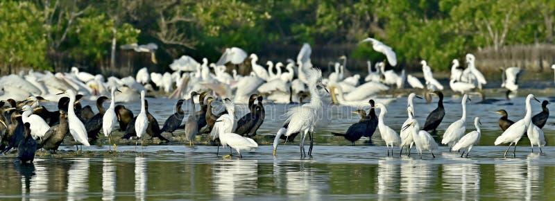 Palétuviers avec les oiseaux de alimentation de patauger photographie stock