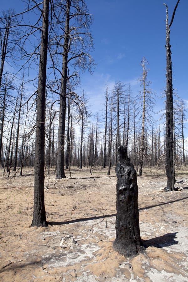 palący pożarniczy lasowi drzewa obraz stock