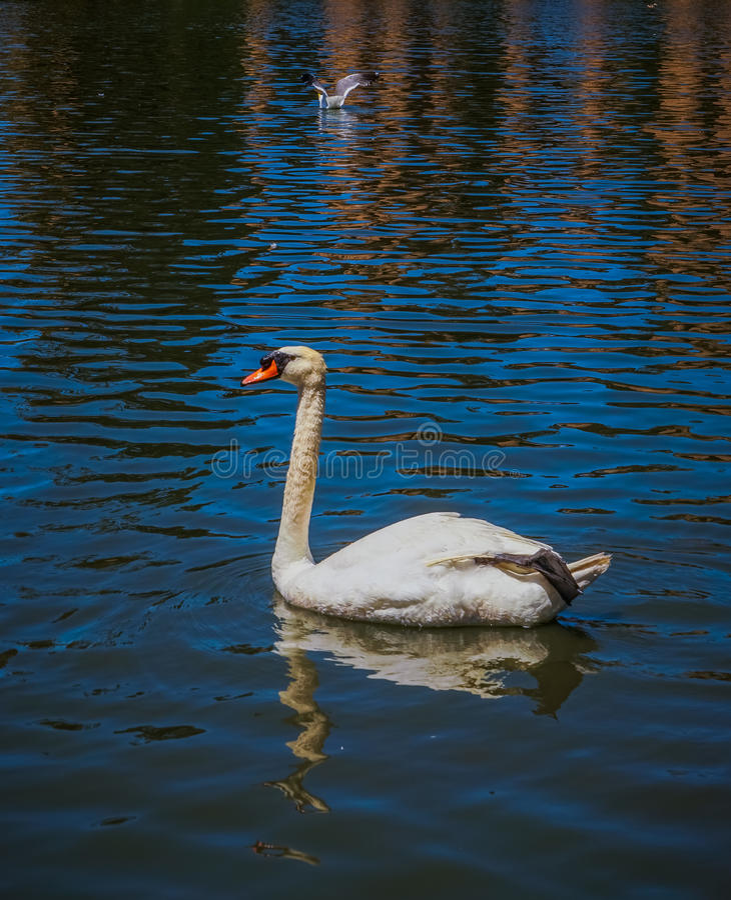 Palace of Fine Arts Pond swan. San Francisco stock photos