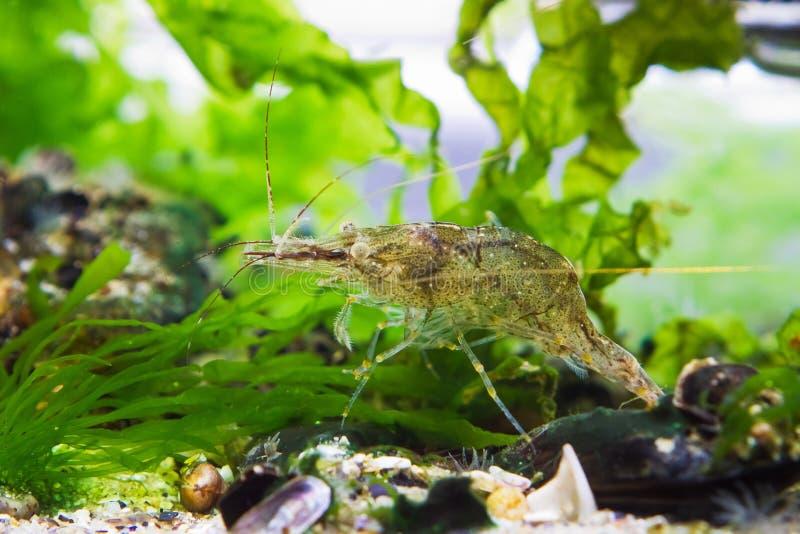 Palaemon adspersus, Baltic prawn, saltwater decapod crustacean, осматривает морскую кровать для еды с ее перифериями и антеннами  стоковая фотография rf