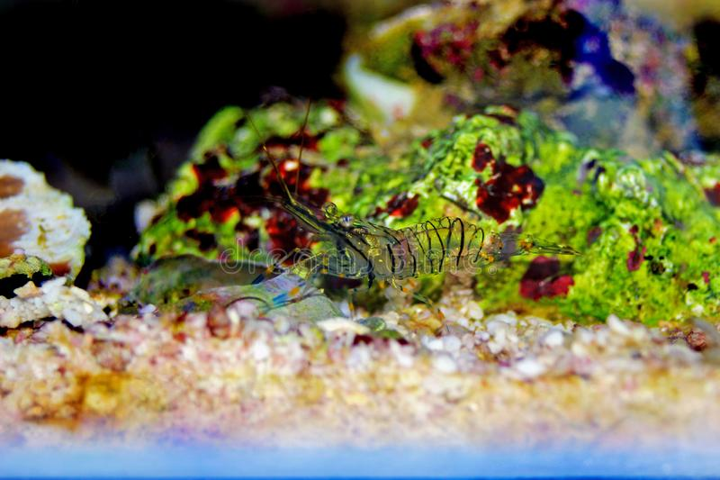 Mediterranean Glass shrimp - Palaemon elegans. Palaemon elegans sometimes known by the common name rockpool shrimp, is a species of shrimp of the family stock photography