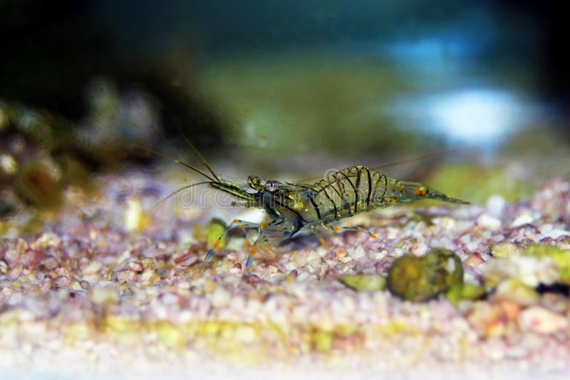 Mediterranean Glass shrimp - Palaemon elegans. Palaemon elegans sometimes known by the common name rockpool shrimp, is a species of shrimp of the family stock photo