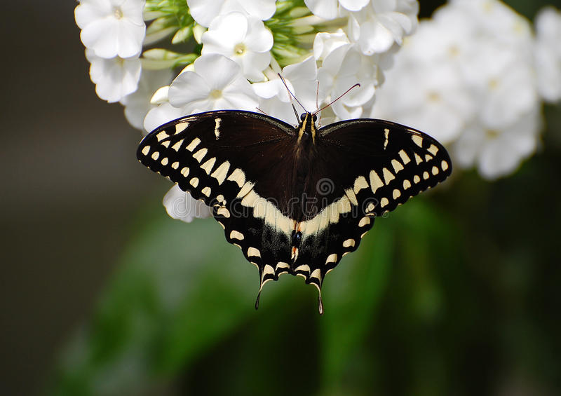 Palamedes Swallowtail Butterfly. Black wings. yellow or white spots royalty free stock images