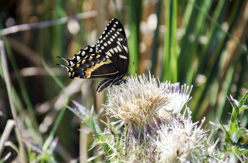 Palamedes Swallowtail motyl na osetu kwiacie zdjęcia stock