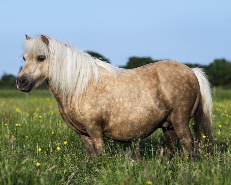 Palamino Miniature Shetland Pony stock photography