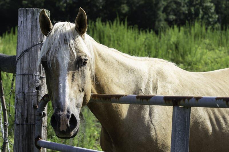 Palaminopaard die over poort kijken stock foto's