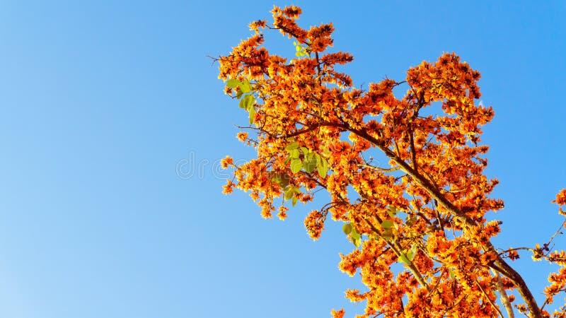 Palas flowers. Bute monosperma flower,Blooming Teak But stock images