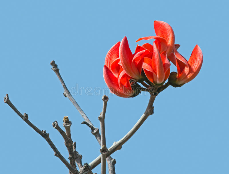 Palash flowers bunch stock image. Image of flame, leaves ... Palash Flower Wallpaper