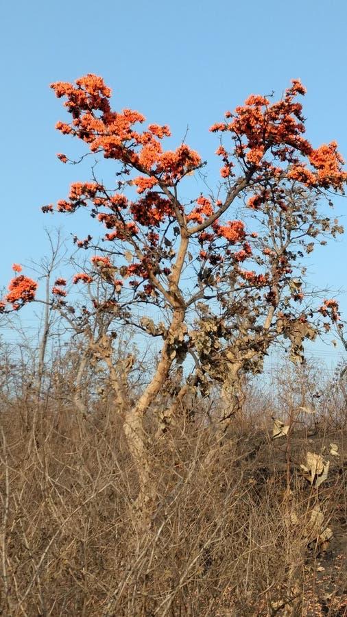 Palashboom stock afbeeldingen