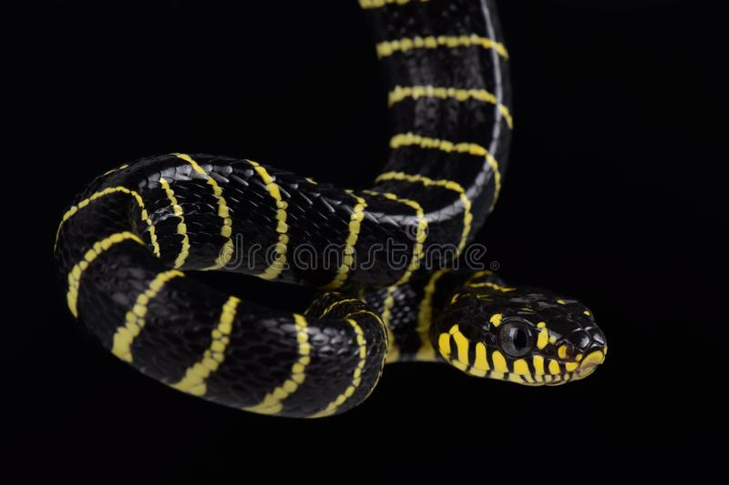 Palawan Gold-ringed Cat Snake.Boiga dendrophila multicincta. The Palawan Gold-ringed Cat Snake Boiga dendrophila multicincta is a large, arboreal and nocturnal royalty free stock images