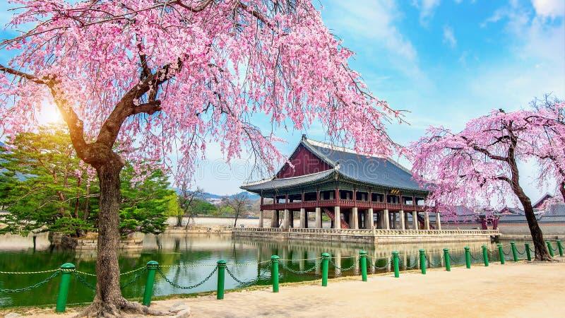 Palazzo di Gyeongbokgung con il fiore di ciliegia in primavera, Seoul in Kor fotografia stock libera da diritti