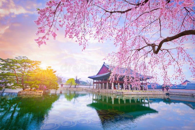 Palazzo di Gyeongbokgung con l'albero del fiore di ciliegia nel tempo di primavera dentro immagine stock