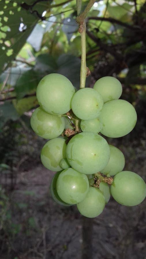 Palcowa owoc zdjęcia stock