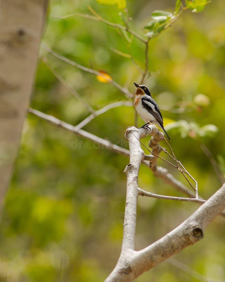 Pale Batis en selva tropical africana fotos de archivo libres de regalías