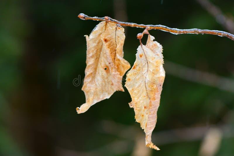 Pale Beech Leaves em um ramo gelado imagens de stock