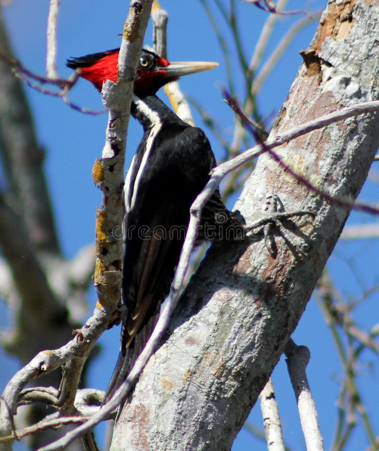 Pale Billed Woodpecker (Campephilus Guatemalensis) fotografia stock