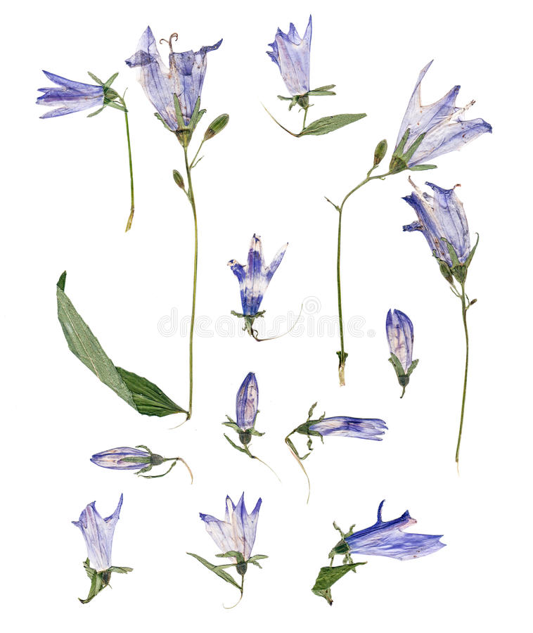 Pale blue campanula pressed stock illustration