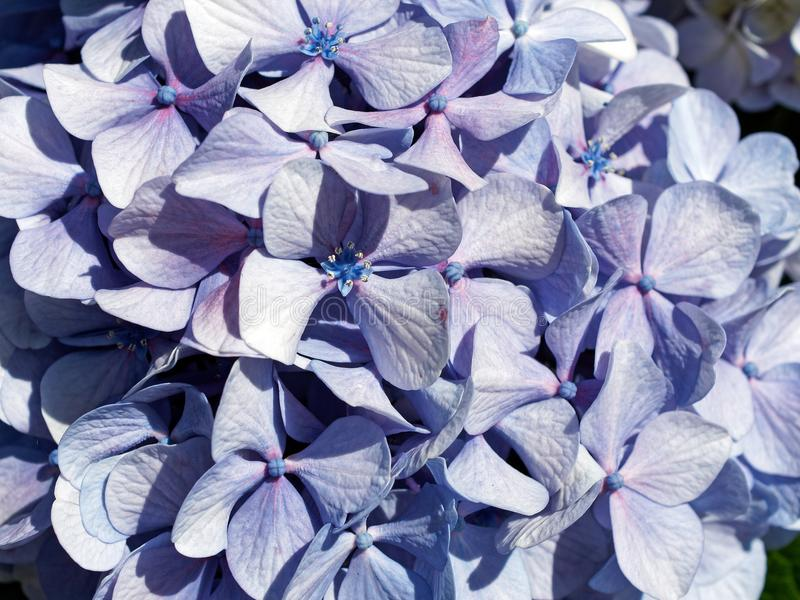 Pale Blue and Purple Hydrangea Flowers. Detail of densely packed newly bloomed hydrangea flowers with pale blue and purple petals stock images