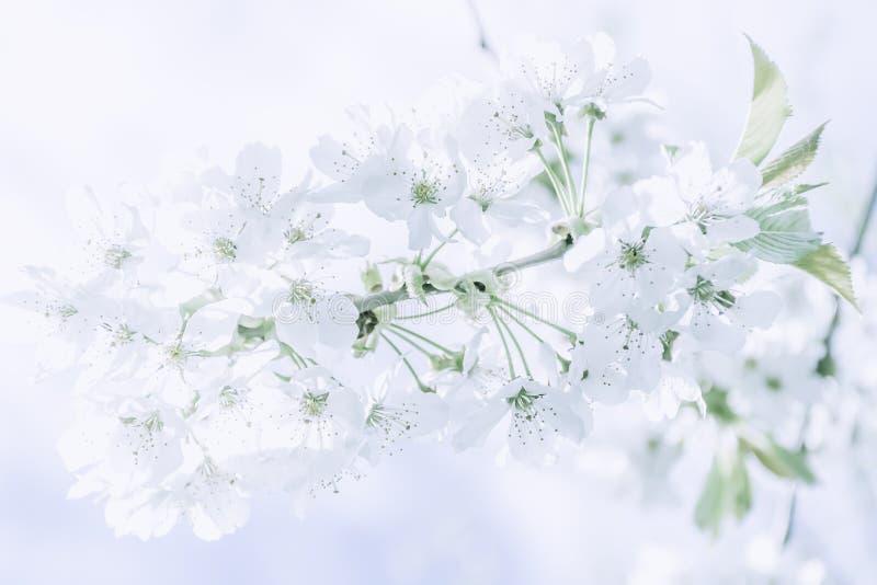 Pale blue springtime blossom stock image