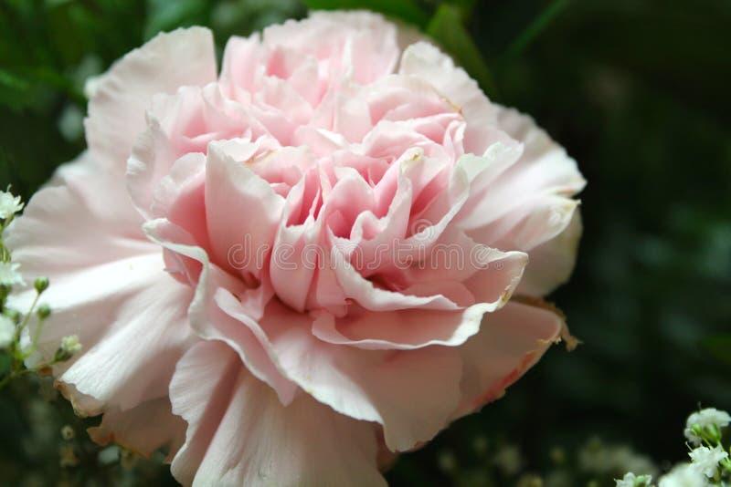 Pale Carnation lizenzfreie stockfotos